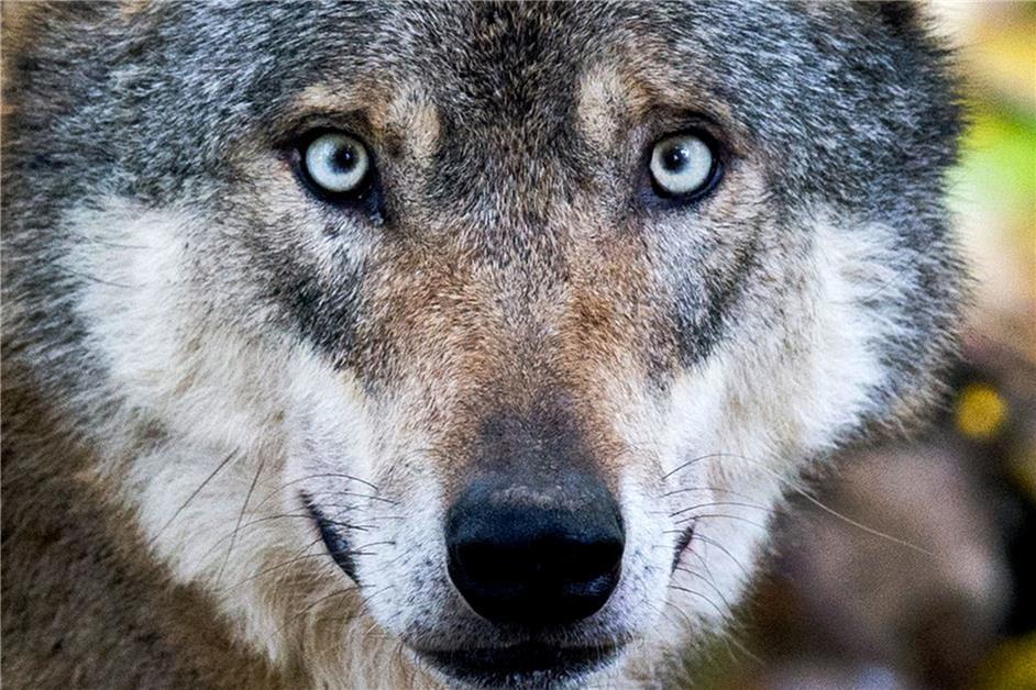 98 Nutztiere durch Wölfe verletzt, getötet, vermisst – vierter Wolf siedelt sich in NRW an